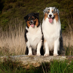 Australian shepherds Noa and Cash