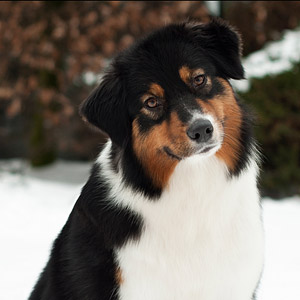 Australian shepherd  Noa at 16 months old