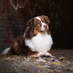 Australian shepherd Oliver at 2 years old